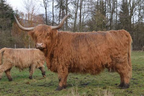 vache Highland Cattle - AnnonceXtra