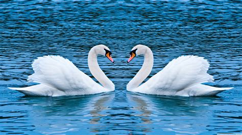 White Swans In Love Hd Wallpaper Download For Mobile
